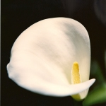 "Photograph, Still Life: ""Calla Lilly"" by Camille DeFer Thompson"